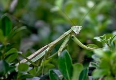 Praying mantis - by NCBrian