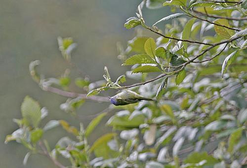 Capped Conebill ssp atrocyaneum, female