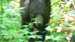 Bear Approaches
