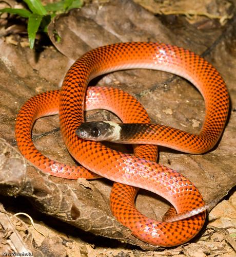 Amazon Snake