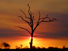 Leadwood at sunset (Jacques S G) Tags: africa travel trees sunset wild sun nature sunrise southafrica interestingness tour natur silhouettes son safari sonne krugernationalpark reise baumen mywinners sudafrika wowiekazowie diamondclassphotographer flickrdiamond bhubezijake largepersonalisedtourssafaris combretumimberbe nginationalgeographicbyitalianpeople atlargetourssafaris