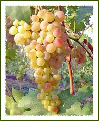 rose-color grape (Lyubov) Tags: nature garden ilovenature russia grape soe krasnodar specnature thebiggestgroup mywinners shieldofexcellence aplusphoto amazingshots