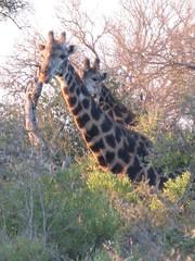 2 giraffes having a snack (squeak and sleep) Tags: southafrica honeymoon safari timbavati albasini tandatula martinprice albasinisilvia
