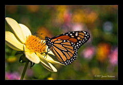 Monarch Meal Time (skinr) Tags: sanfrancisco goldengatepark plant flower macro nature closeup butterfly colorful raw unitedstates bokeh petal monarch nectar pollen adobelightroom skinr canon400d canondigitalrebelxti adobephotoshoplightroom flowerwatcher wwwjskinnerphotocom