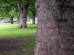 Centenary trees in Parsons Green's park. London (maesejose) Tags: park parque trees london rboles londres parsonsgreen