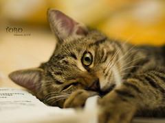 (Sherwin_andante) Tags: home cat 50mm takumar toro 貓 2007 e510 200710 aplusphoto calculatingcats 龍二