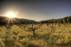 Sausalito Canyon Vineyard at Sunset