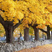 Maple trees at Sunnyside Cemetery in Morristown. Photo: Jim Shuman.