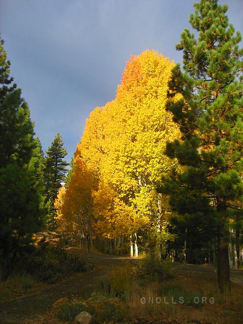 Aspens near Spooner Summit