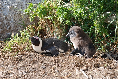 African penguin with chick, Boulders Beach, South Africa