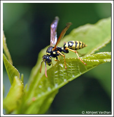 Wasp (AbhijeetVardhan) Tags: macro nature closeup wasp nikond70 yellowandblack naturesfinest supershot raynoxdcr250 animalkingdomelite abigfave