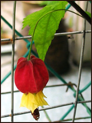 A single bloom of Abutilon megapotamicum / vexillarium (Flowering Maple, Chinese Lantern)
