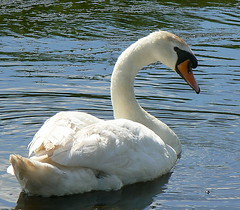The Look. (Romeo66) Tags: uk england white bird river swan lincolnshire waterfowl mute crowle threerivers specanimal specanimals