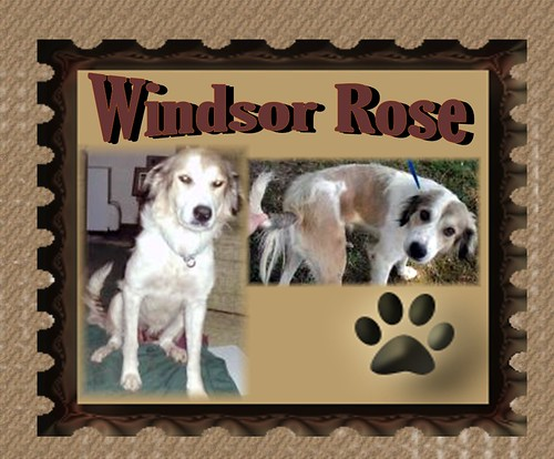 Windsor Rose