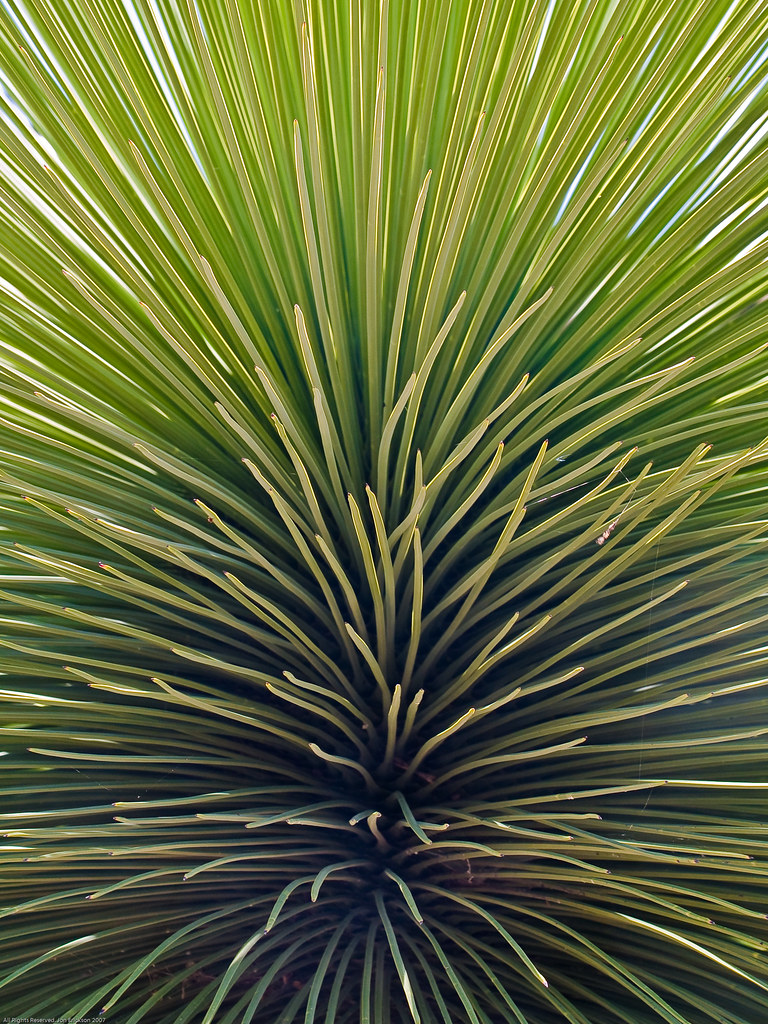 Another Yucca