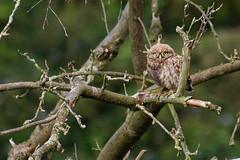 Adelr_20070707_018-2-Edit (reneadelerhof) Tags: owl littleowl atheneathene