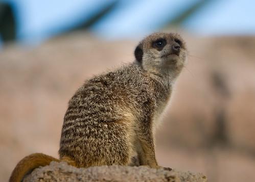 Meerkat1902