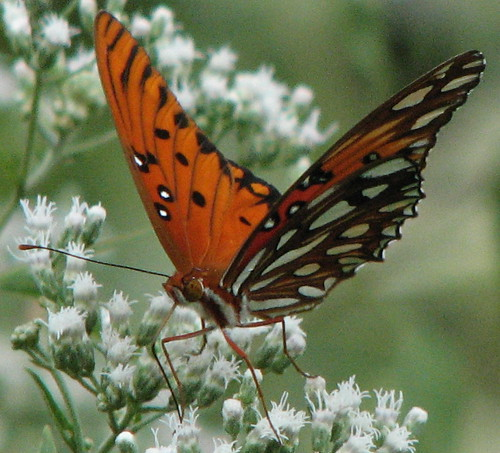 Gulf Fritillary  - I love that face