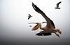 20090827 Swakopmund 018 (blogmulo) Tags: africa travel fauna canon bay bravo action wildlife seagull pelican viajes bahia namibia gaviota 2009 walvis pelicano canon450d blogmulo