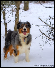 Plava - Dog's Don't Have Souls, Do They? (Micha67) Tags: 2005 snowflake family winter dog pet snow d50 happy photography michael nikon friend shepherd australian 7 micha aussie companion schaefer bluemerle 7years plava dothey michaelschaeferphotography plavadogsdonthavesouls