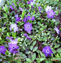 Flores 10 - F 1 (VRNU) Tags: flores vrnu floresporlapaz giveme5awardthenext5pictures