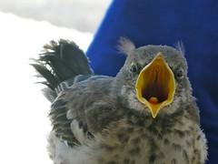 nature birds outdoors wildlife mockingbird
