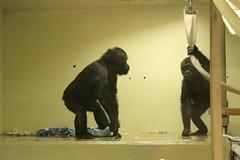 Junge Flachlandgorillas / young lowland gorillas