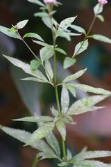 フジバカマの葉