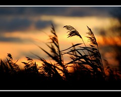 You are the fire in my heart..... (Levels Nature) Tags: uk england sky reed nature grass silhouette clouds reeds bravo silhouettes somerset grasses burnham burnhamonsea xoxoxoxox apexpark alittlebeauty blinkagain