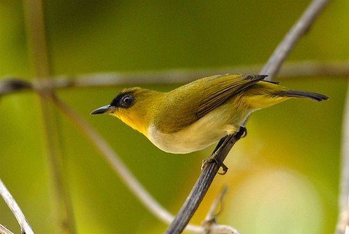 Jauna putnu suga Indonēzijā (Zosterops somadikartai)