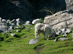 Mountain goat - by palestrina55