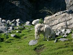 Mountain goat - by palestrina55