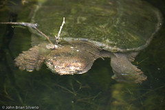 Snapping Turtle - by Silverph (should I be active on Flickr again?)