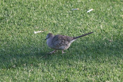 inca dove-IMG_7259-PHX-crop