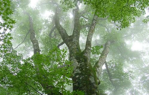 ★霧雨のブナ林