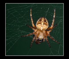 European garden spider (Araneus diadematus, cross spider) (guenterleitenbauer) Tags: pictures macro nature animal animals fauna tiere spider photo klein flickr foto image photos spiders natur picture insects images explore fotos gross spinne alive nah macros bild makro bilder nahaufnahme tier insekten araneusdiadematus gnter spinnen kreuzspinne araneus animalphotography diadematus makros naturesfinest tierfotografie zoologie flickrexplore naturfotografie europeangardenspider crossspider lebewesen explored guenter anawesomeshot aplusphoto leitenbauer kreuzspinnen wwwleitenbauernet