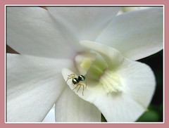 Cute visitor on Dendrobium 'White Pagoda', shot July 19, 2007