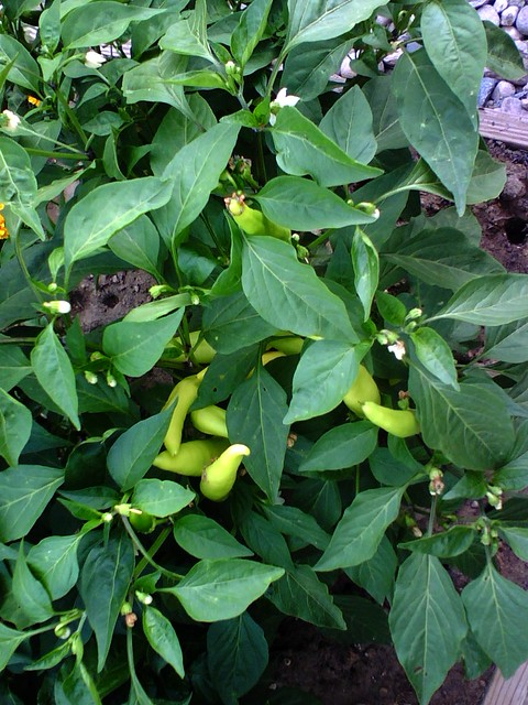 Hungarian Wax Peppers, July 21 - Fort Collins, Colorado