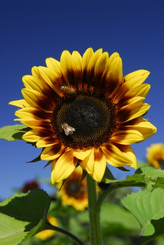 "Sunflower ""Pro Cut Bicolor"""
