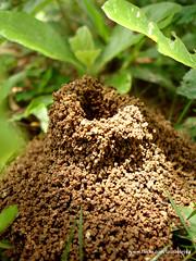 Anthill (www.villadeleyvafestiva.com) Tags: nature hormigas sony ant hill cybershot anthill animalarchitecture hormiguero lauraolejua olejua arquitecturaanimal