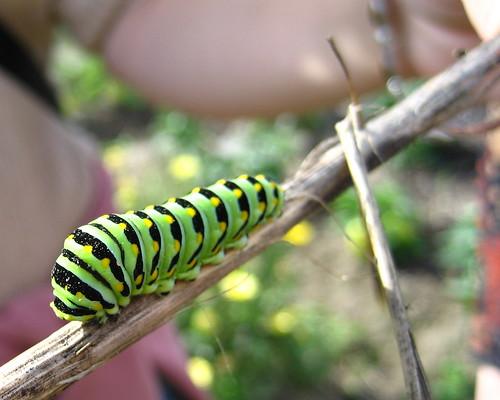 garden #3983: caterpillar