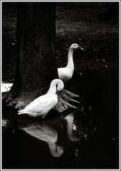 The Graceful Duo [..Chuadanga, Bangladesh..] (Catch the dream) Tags: bw white reflection tree water birds rural blackwhite pond village snowy rustic roots ducks domestic bangladesh rhythm chuadanga ailhash gettyimagesbangladeshq2