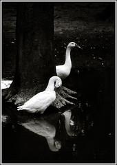 The Graceful Duo [..Chuadanga, Bangladesh..] (Catch the dream) Tags: bw white reflection tree water birds rural blackwhite pond village snowy rustic roots ducks domestic bangladesh rhythm chuadanga ailhash gettyimagesbangladeshq2