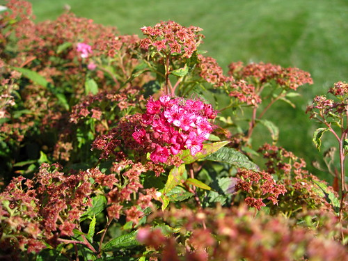 Last of the pink spirea