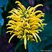 fiore orto botanico giallo-yellow flower botanical garden