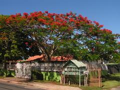 Flamboyan (brendon.m) Tags: tree puerto rico flamboyan