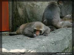 (Wayne Lam (Ramius)) Tags: zoo monkey    taipeizoo  formosanmacaque