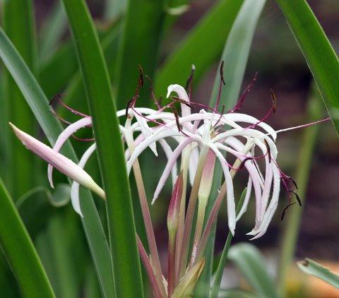 Spider Lily nandi Hllls