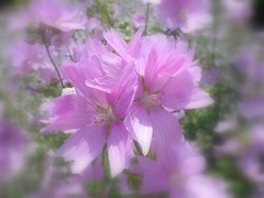 Pretty In Pink (Blooms n' Twigs) Tags: pink flowers flores nature fleurs garden flora blumen blooms supershot flowerscolors abigfave