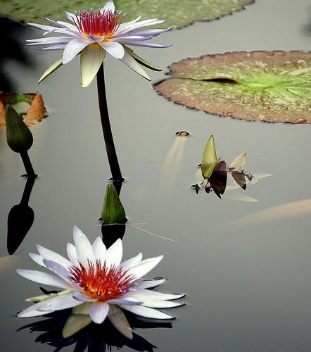 Water Lillies by digitalART2